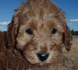 red labradoodles puppy, 6 weeks old