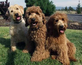 labradoodles the ideal family dog