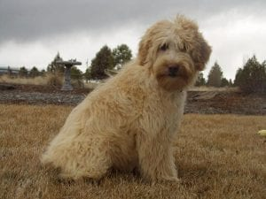 Labradoodle Grooming longer cut