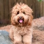 Mountain View Australian Labradoodle